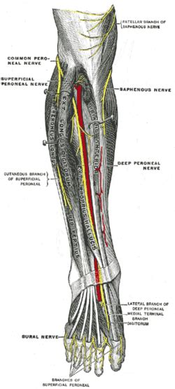 Superficial peroneal nerve - Wikipedia