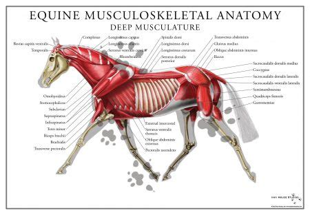 Equine Deep Muscular System Poster