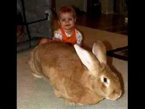 Worlds Biggest Rabbit 2012 Please Subscribe - YouTube