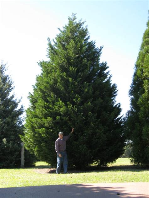 Large Trees available