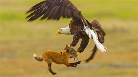 Fox Fights With Bald Eagle In MIDAIR - YouTube