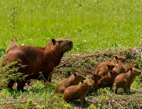 Largest Rodent In The World   Capybara Facts   DK Find Out
