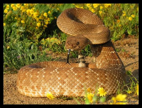 Herpetology - Serpentes - Ecology And Evolutionary Biology